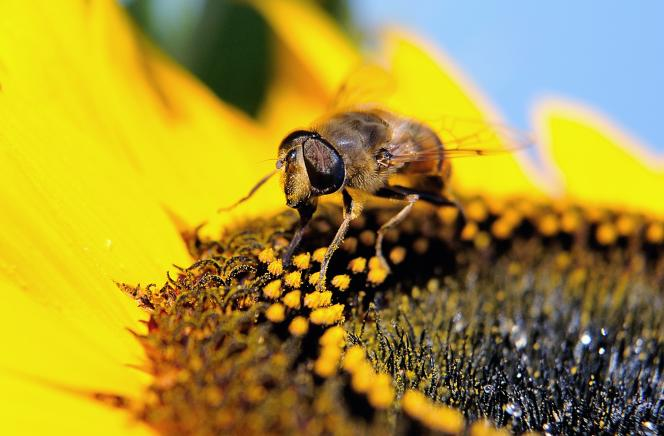 La pollution fragilise les parois des pollens ce qui favorise la fuite d'agents allergènes.