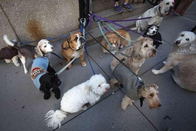 Un groupe de chiens attend d'être promené, le 4 décembre, à New York.