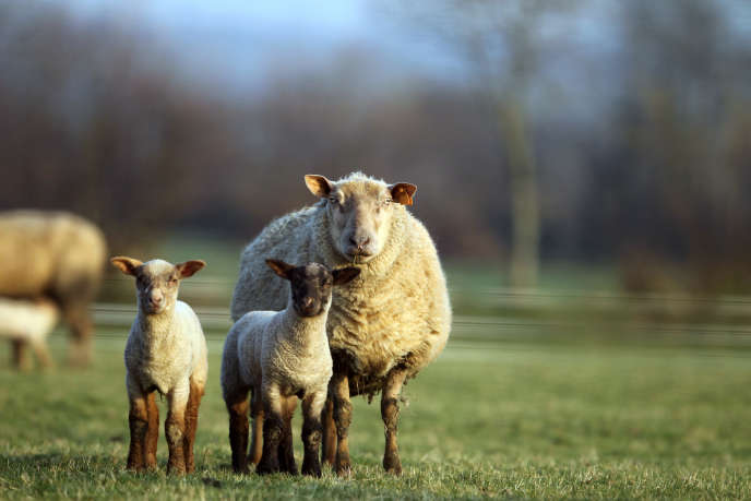 Une étude montre que l'agent pathogène proche de celui qui est responsable de la maladie de la vache folle peut infecter des souris « humanisées ».