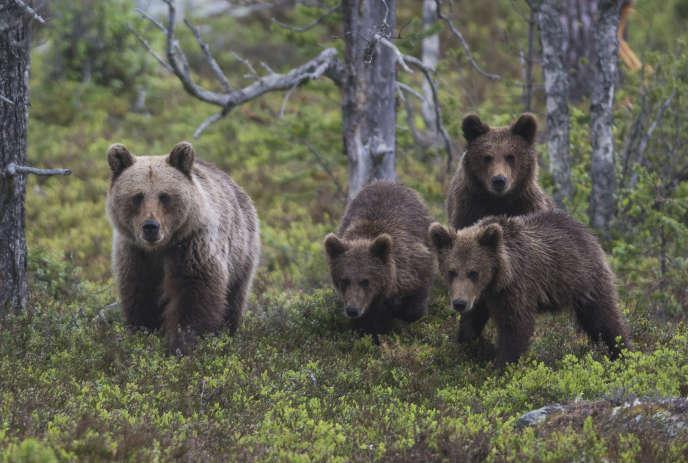 Ours brun femelle avec ses oursons dans le parc national de Gutulia, dans le sud-est de la Norvège.