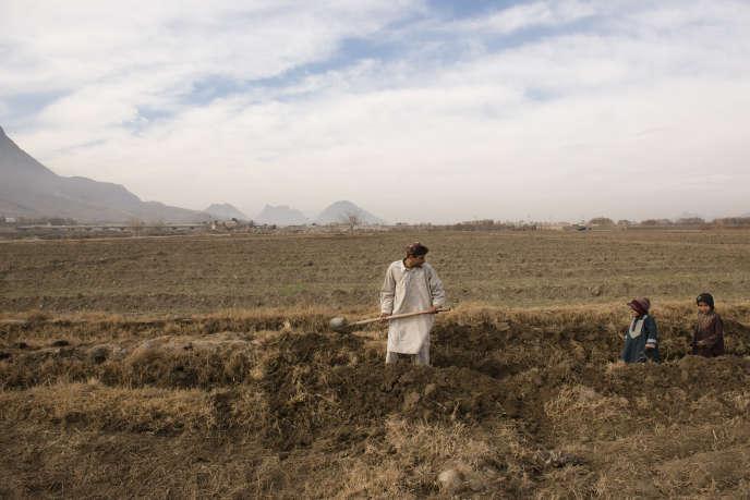 Afghanistan: la culture du pavot repart à la hausse en