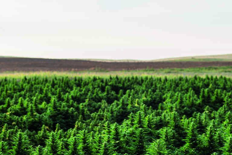 Une ferme de culture du cannabis à Wray, à l'est de Denver (Colorado).