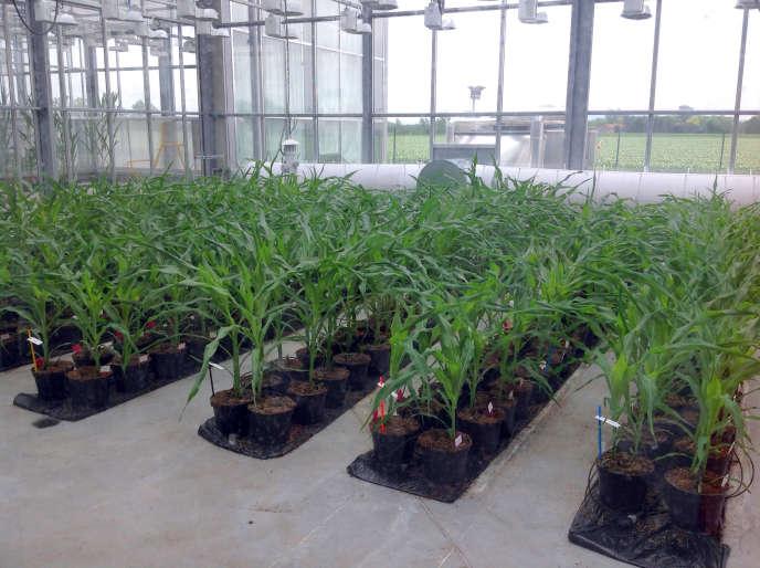 Culture de maïs OGM à Chappes (Puy de Dôme) par l'entreprise Biogemma, en mai 2014.