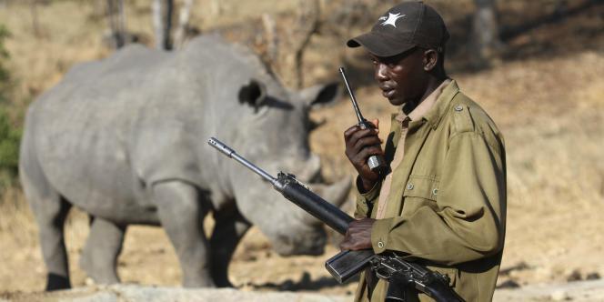 Les statistiques officielles montrent que 1 004 rhinocéros avaient été abattus par des braconniers en Afrique du Sud en 2013, contre 668 en 2012.
