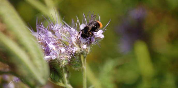 Un bourdon butine une fleur de phacélie.