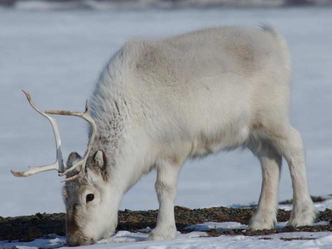 Un renne de Svalbard.