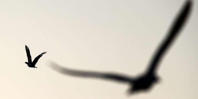 Un faucon chasse une outarde lors d'une compétition de fauconnerie à Abou Dhabi, le 9 décembre 2014.