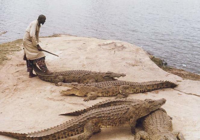 Les crocodiles de Yamoussoukro et leur gardien Diko, avant qu'ils ne le dévorent en août 2012