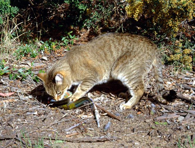 Un chat tue une perruche de Pennant, sur une photo non-datée fournie par le département australien de l'environnement.