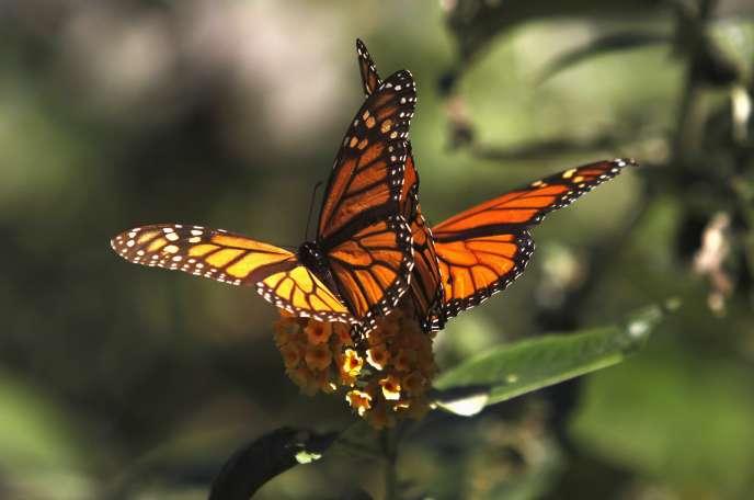 L'utilisation par les particuliers de pesticides – insecticides et herbicides – peut avoir des effets négatifs « à grande échelle » sur les papillons et les bourdons.