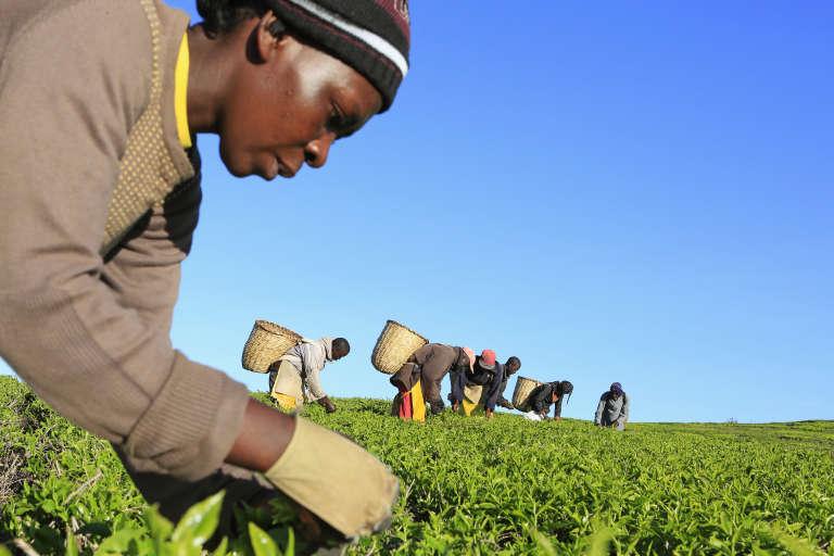 Une plantation de thé à Nandi Hills (Kenya) en novembre 2014.