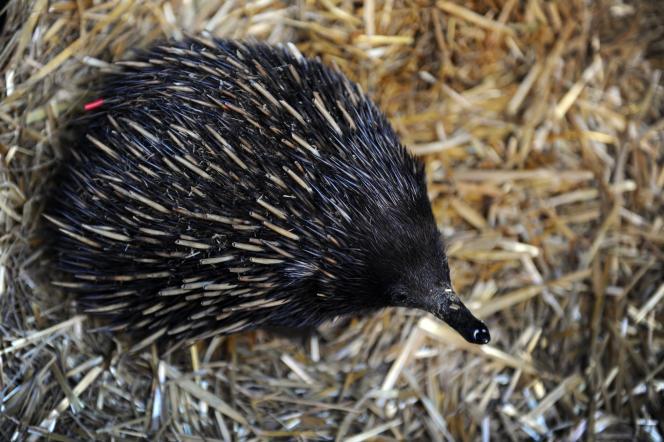 Un échidné, présenté à Sydney à l'occasion de la Journée des espèces menacées, le 7 septembre 2012.