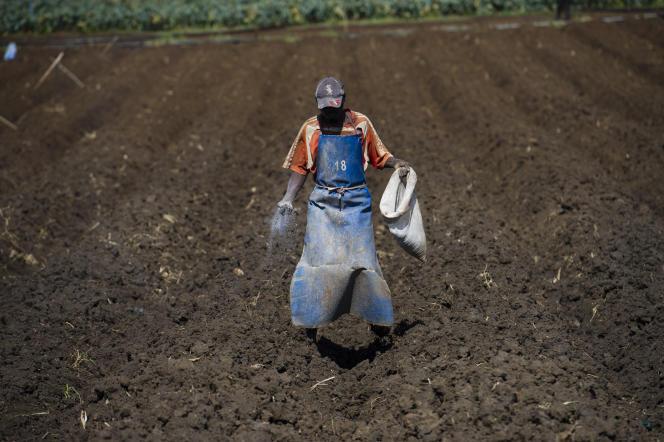 Un ouvrier épand des engrais sur un champ, à la ferme Thika, au Kenya.