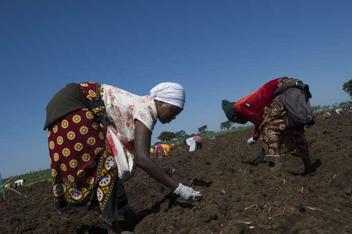 Des femmes sèment des graines de haricots verts dans les champs fraîchement labourés de la ferme Hippo, située à Thika, au nord de Nairobi.