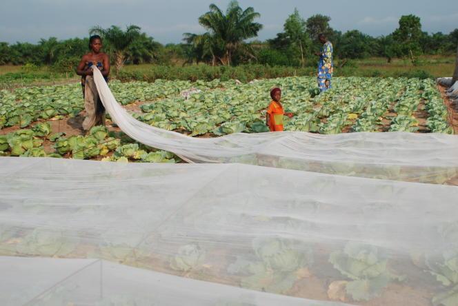 Des filets en polyéthylène posés sur des cultures au Bénin, afin de les protéger des ravages des insectes.