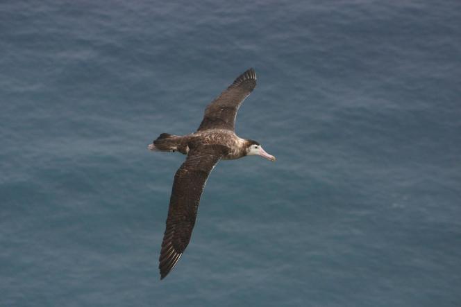 L'Albatros d'Amsterdam vit dans les terres australes françaises. Il mesure 2,80 m d'envergure et peut vivre quatre-vingt ans. Il en resterait vingt-cinq couples.