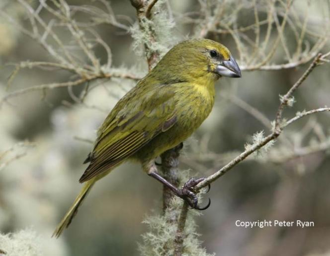 Le nezospiza wilkinsi, ou finch de Wilklins, vit dans l'archipel Tristan da Cunha, dans les terres australes britanniques de Sainte-Hèlène.