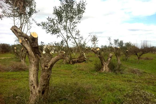 «Xylella fastidiosa» s'est implantée dans les Pouilles, où se concentre un tiers de la culture des oliviers en Italie.
