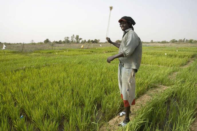 Jeune homme dans une rizière au Sénégal.