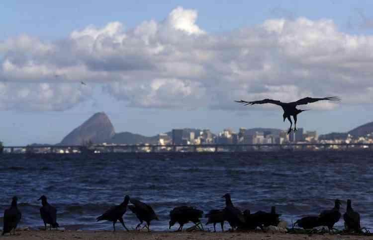 """Des vautours dévorent la carcasse d'un chien sur la plage de Bica, le 24 mars. """"En tant qu'habitant de Rio, je trouve dommage que les Jeux olympiques n'aient pas été l'occasion de régler ce problème une fois pour toutes. C'est une occasion manquée"""", a reconnu en mars Eduardo Paes, le maire de Rio."""