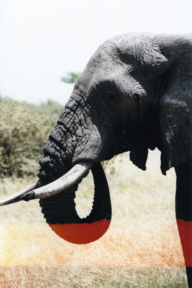 Wilderness Safaris propose à ses clients de participer à la vie d'une harde d'éléphants.