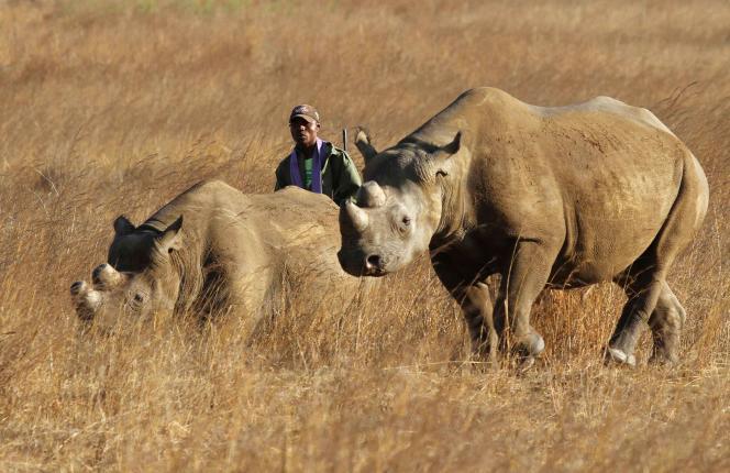 Trois rhinocéros sont tués chaque jour pour leurs cornes, selon l'organisation mondiale de protection de la nature WWF.