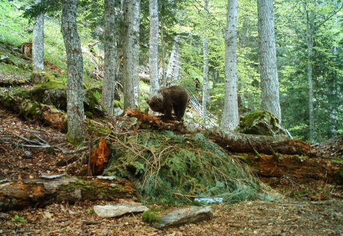 Auberta, oursonne de 10 mois, aurait succombé à une blessure, côté espagnol.