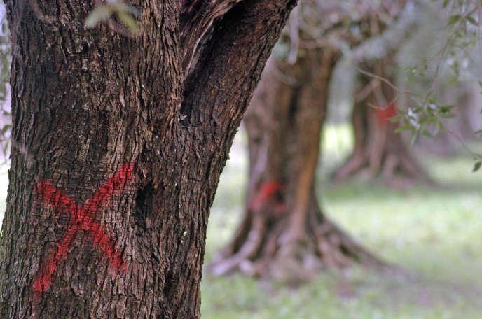 En mars 2015, dans la région italienne des Pouilles, des oliviers sont marqués d'une croix rouge car, infectés par la bactérie Xylella fastidiosa, il sont destinés à être abattus.