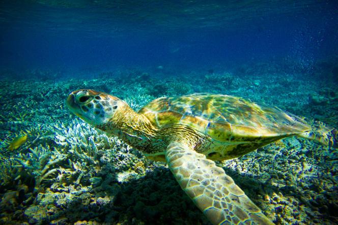 Tortue verte dans les eaux de l'ïle Lady Elliot, un des endroits les mieux préservés de la Grande Barrière.