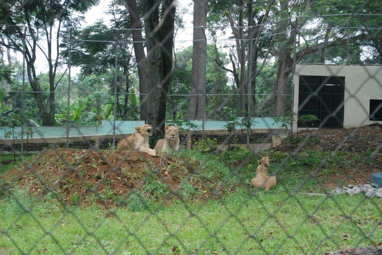 Les lions du zoo d'Abidjan, en mars.