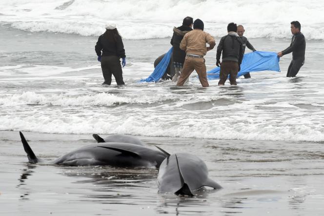 Des habitants tentent de secourir les mammifères échoués sur une plage d'Hokota, à 100 km au nord-est de Tokyo.