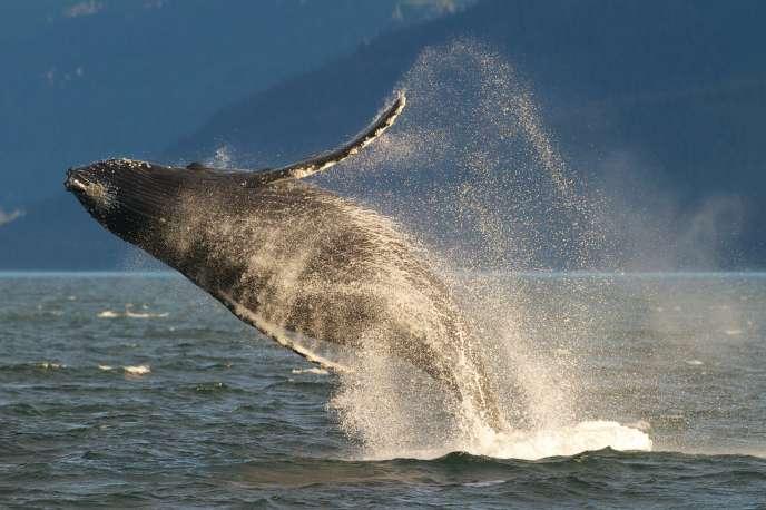 Les baleines à bosse, justicières des mers ?
