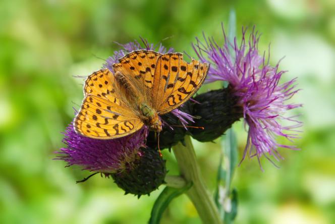 Les insectes – ici un papillon moyen nacré (Argynnis adippe) – font partie des espèces dont l'aire naturelle est la plus menacée de régression.