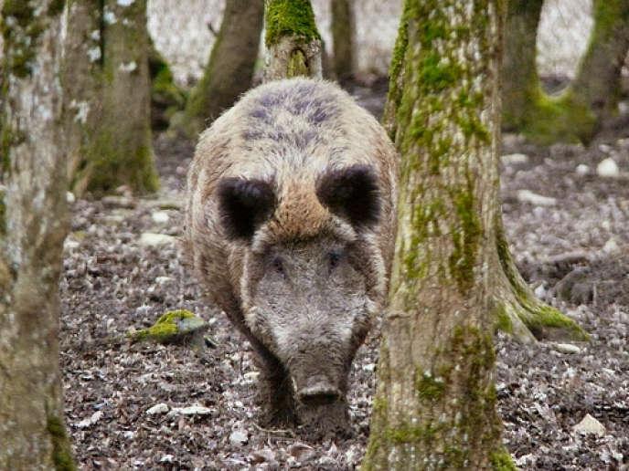 Un sanglier en Pologne, où 30 000 cochons de deux exploitations ont été abattus au printemps.