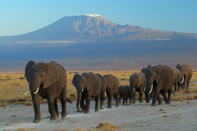 Des éléphants d'Afrique, au pied du Kilimandjaro.
