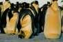 Pour survivre pendant cent vingt jours sur la glace, les manchots forment des groupes compacts au sein desquels les individus se déplacent pour éviter que les mêmes restent exposés au froid.