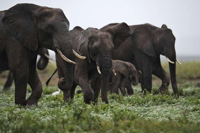 Eléphants de la réserve d'Amboseli, au Kenya, en 2012. Les études estiment qu'un éléphant est tué toutes les quinze minutes en Afrique et qu'à ce rythme, ils auront disparu en 2025.  Les ONG dénoncent le commerce de l'ivoire mais aussi la vente d'animaux pour les zoos.