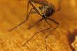 Le moustique, vecteur de maladies telles quele chikungunya et la dengue.