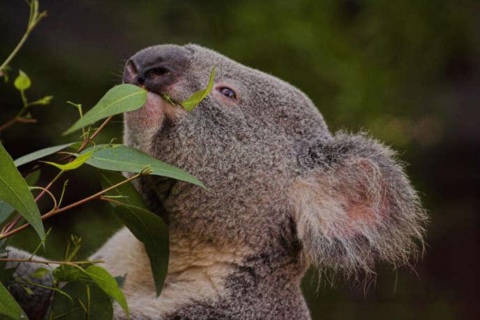 Les koalas font partie des animaux sévèrement touchés par les incendies qui ont sévi en Australie, les menaçant même d'extinction, en janvier 2020.