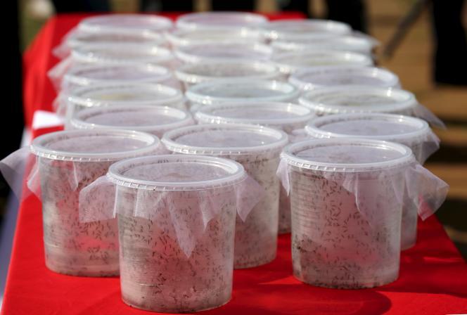 Des moustiques transgéniques ont commencé à être lâchés à Soa Paulo, au Brésil, pour combattre l'épidémie meurtrière de dengue.