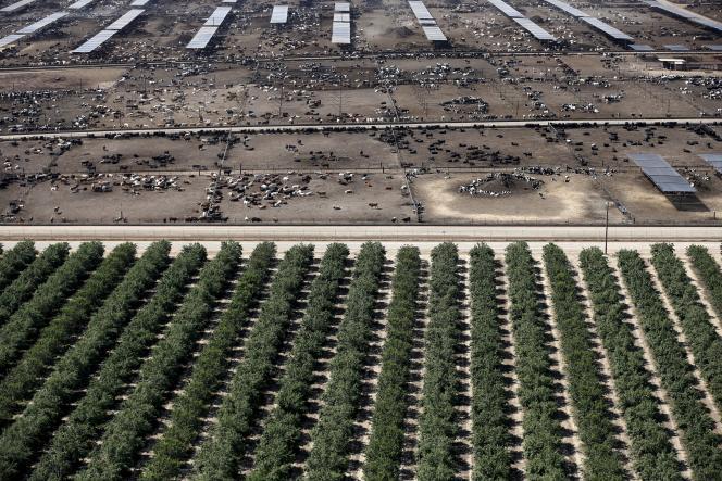 Des champs d'amandiers à Coalinga dans Central Valley, Californie, en mai 2015. Plus de 80 % de la récolte mondiale provient de cet Etat.