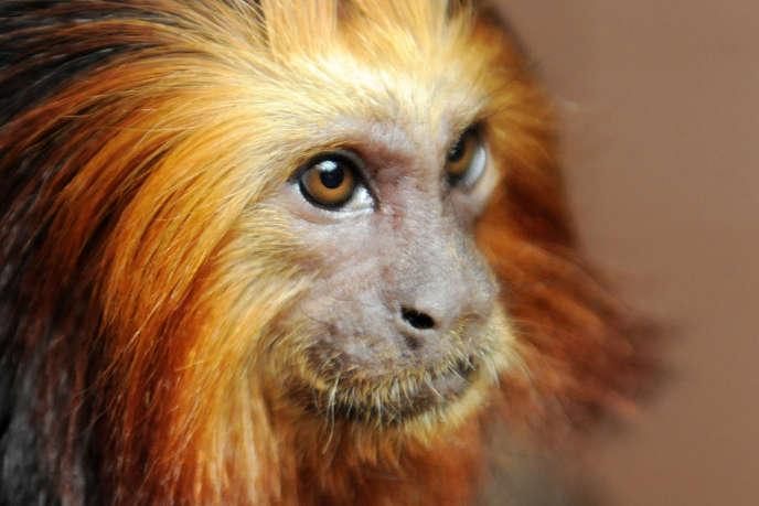 Un tamarin-lion doré. Sept singes de ce type ont été volés au zoo de Beauval dans la nuit de samedi à dimanche.
