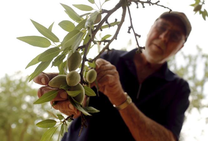 Un agriculteur inspectant les amandes de son exploitation près de Livingston, en Californie en avril 2015.