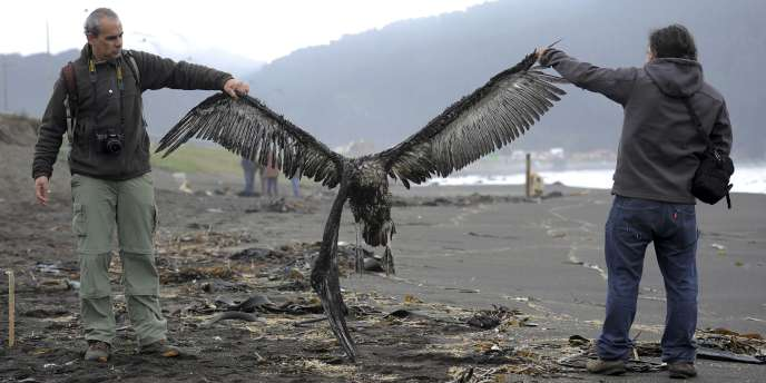 Plus de 1300oiseaux ont été retrouvés morts dimanche sur une plage chilienne.