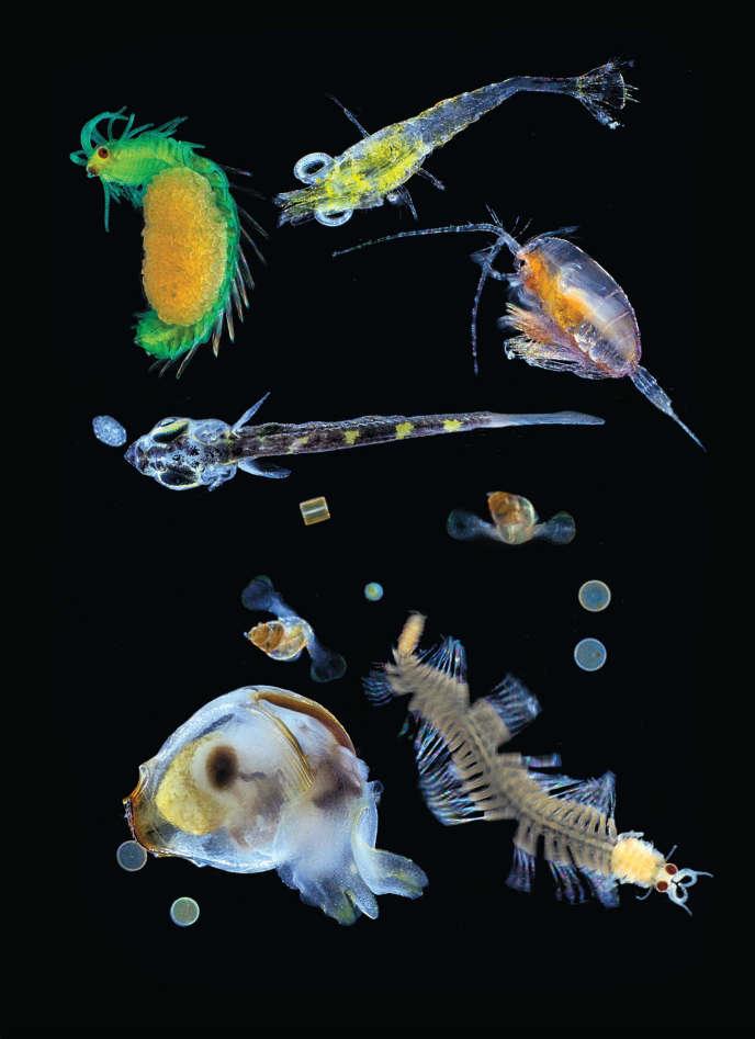 Organismes planctoniques collectés par Tara dans l'océan Pacifique grâce à un filet dont le maillage était de 0,1 mm. On trouve notamment dans cet échantillon des larves zooplanctoniques et des protistes (diatomées, dinoflagellées, radiolaires).