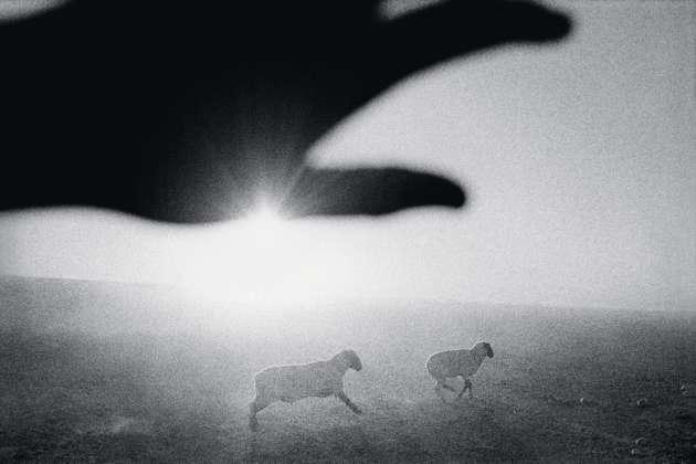 Des moutons dans un champ de melons, à Firebaugh (1995).