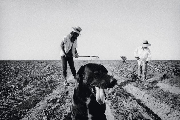 Sarclage du coton, à Allensworth (2001).
