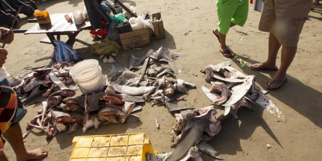 Les ailerons de requin sont très prisés en Asie où ils sont utilisés dans la cuisine et dans la médecine traditionnelle. GUILLERMO GRANJA / REUTERS