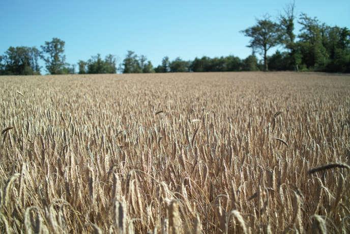 Vendredi 29 mai, le boisseau de blé se négociait à Chicago à 4,77 dollars alors qu'il valait 7 dollars il y a un an.