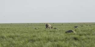 Des milliers de cadavres d'antilopes dans les steppes kazakhes en mai 2015.